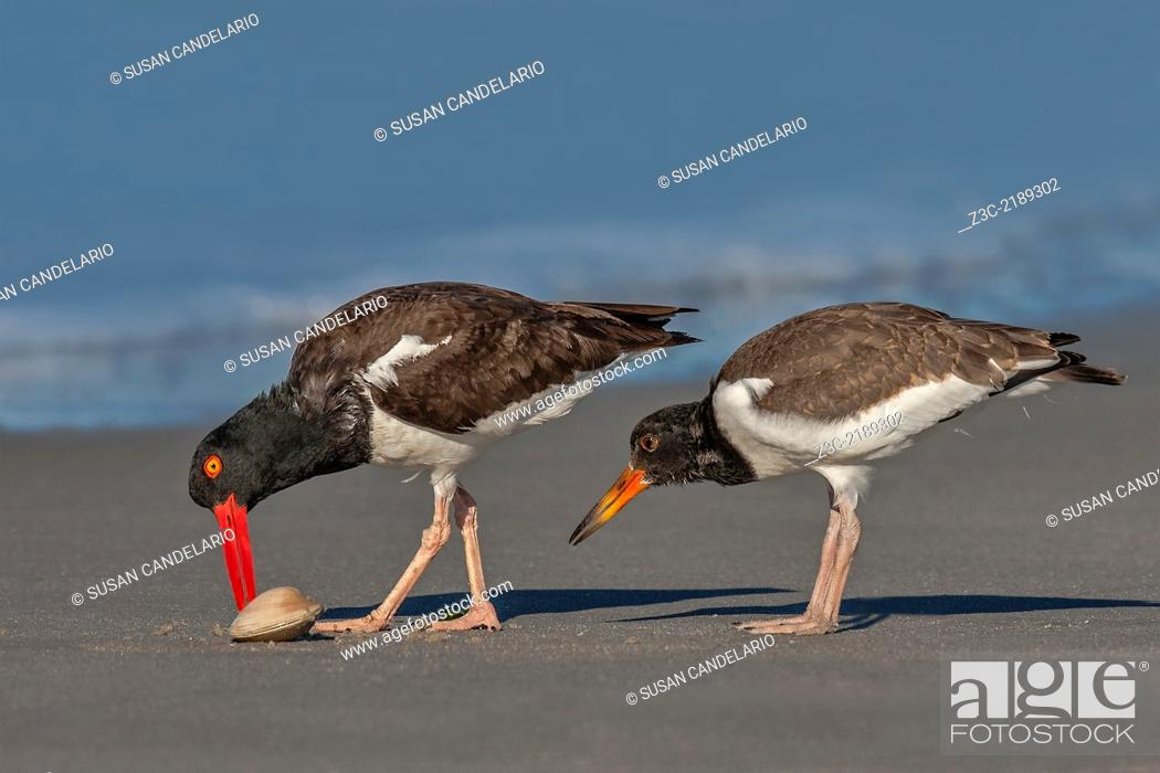 Stock Photo: An American Oystercatcher chick carefully observes the parent opening a clam for breakfast.