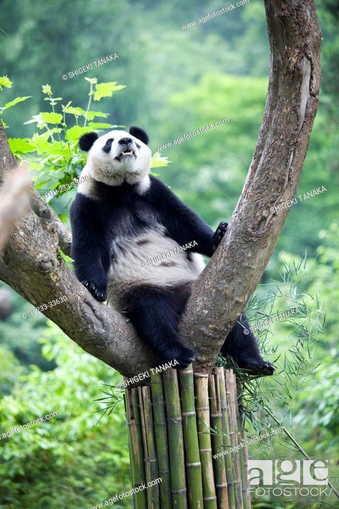 Stock Photo: Giant panda, Wolong, Wenchuan, Sichuan, China.