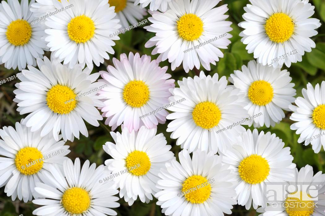 Stock Photo: Daisy Bellis perennis, close up  Bavaria, Germany, Europe.