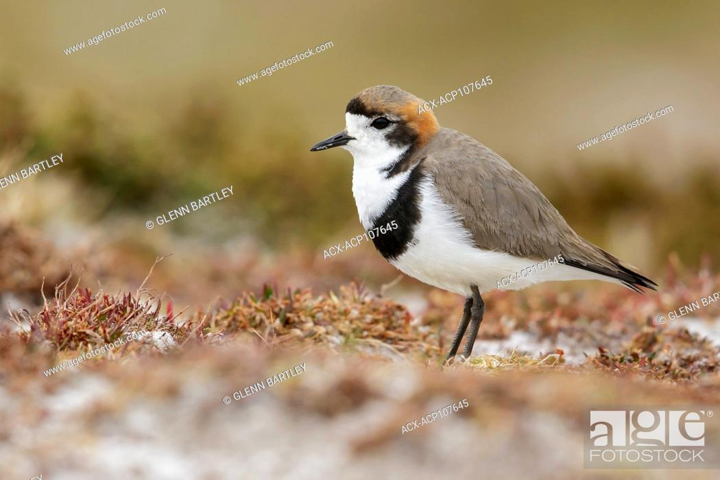 Photo de stock: Two-banded Plover (Charadrius falklandicus) perched on the ground in the Falkland Islands.