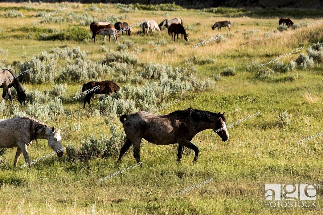 Stock Photo: Wild Horses, Theodore Roosevelt National Park, North Dakota,.