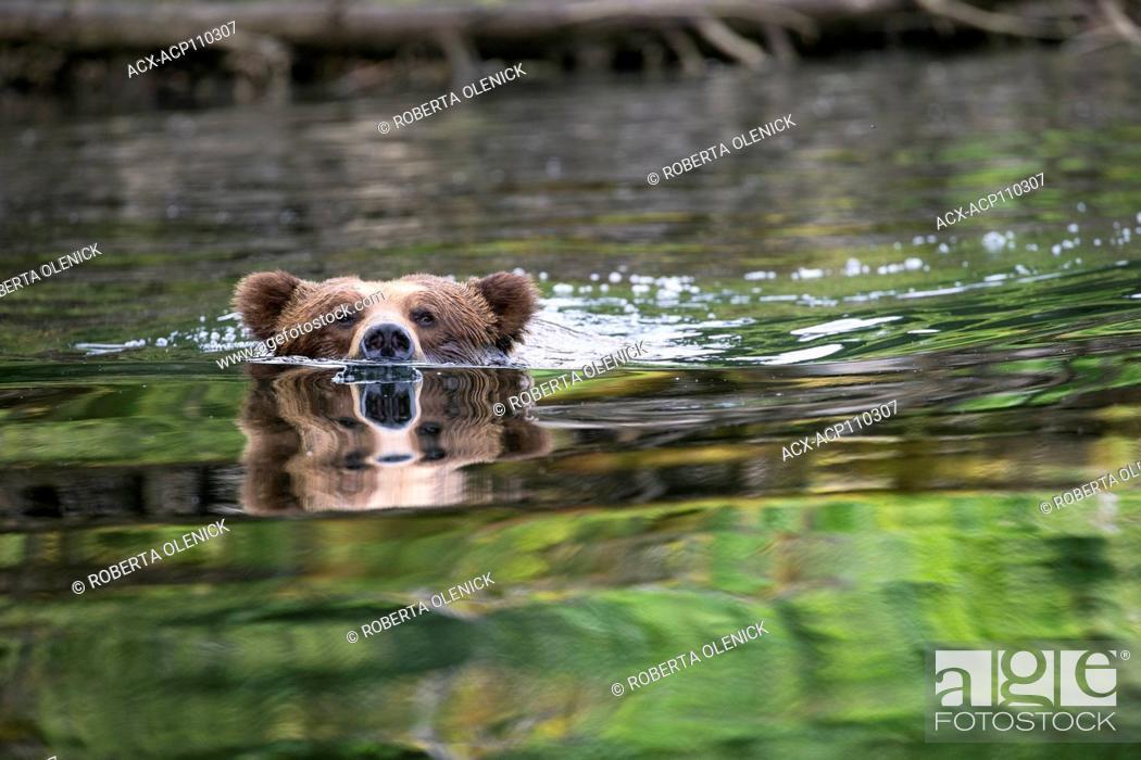 Photo de stock: Grizzly bear (Ursus arctos horribilis), large male, swimming, Khutzeymateen Grizzly Bear Sanctuary, British Columbia, Canada.