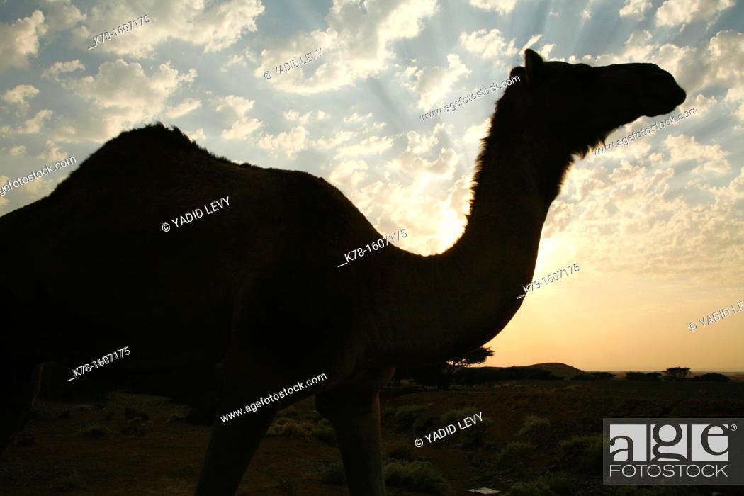 Stock Photo: Camels in Wadi Araba, Jordan.
