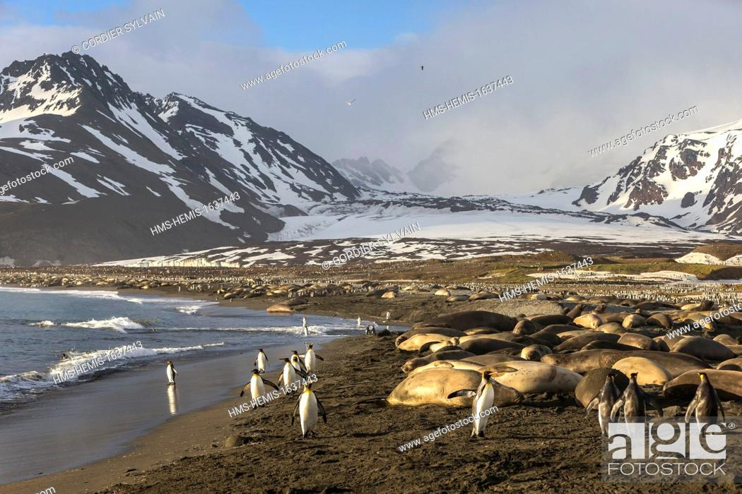 Stock Photo: Antarctic, South Georgia Island, Andrews plains, Southern Elephant Seal (Mirounga leonina), mother and new born baby.