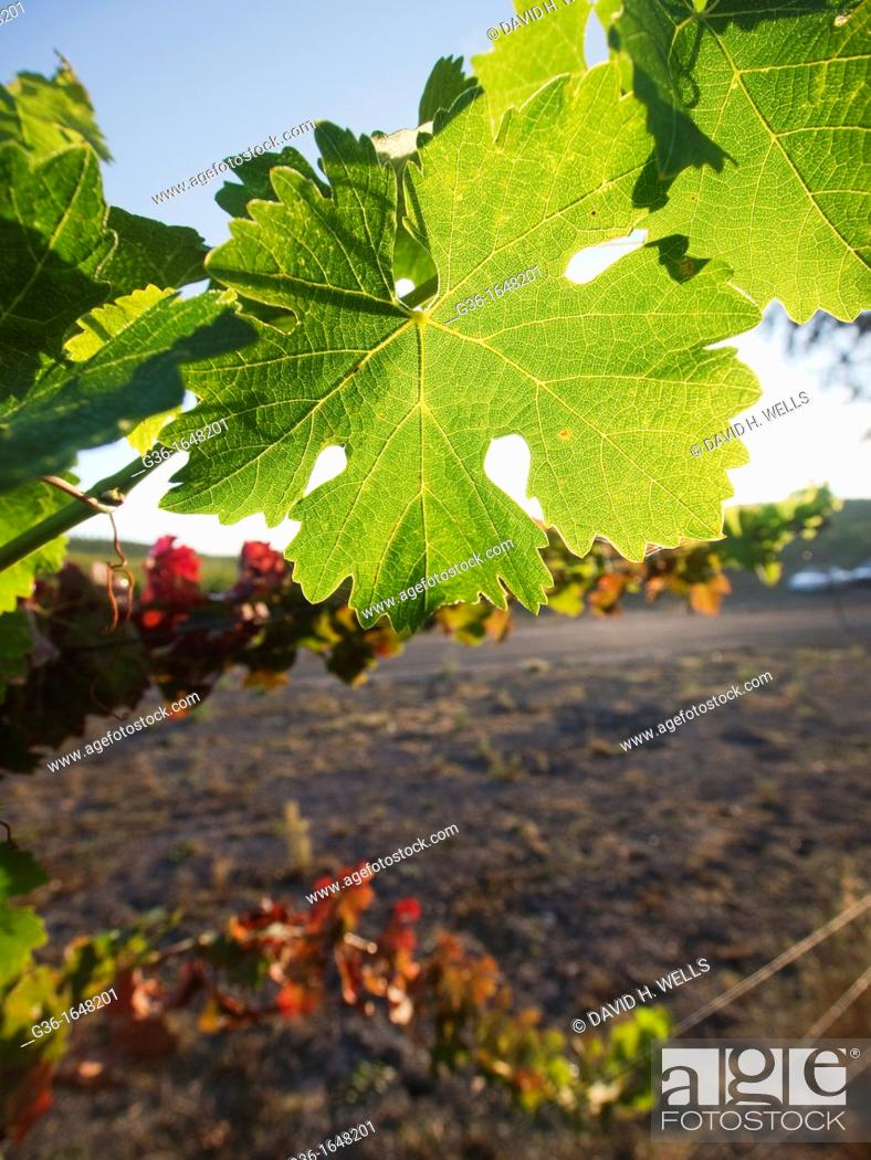 Stock Photo: Sunlit plants in a vineyard in Paso Robles  California, United states.