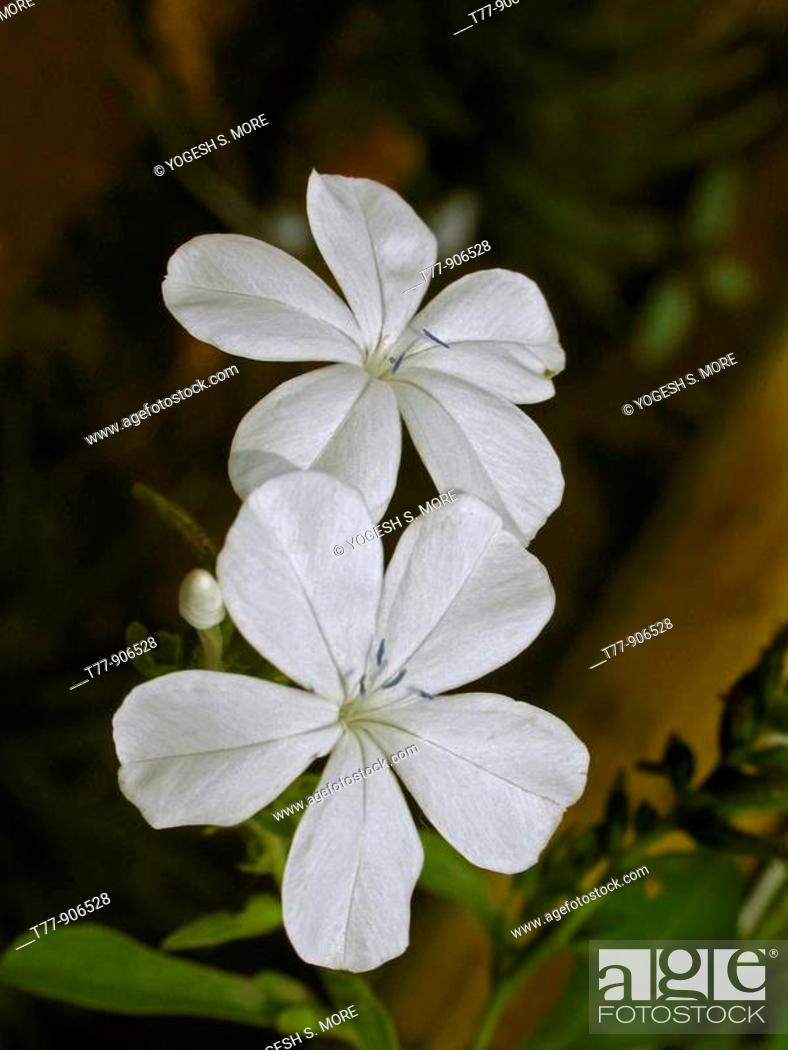 Stock Photo: Flowers of Plumbago auriculata, leadwort, plumbago, skyflower, P  capensis syn, India.