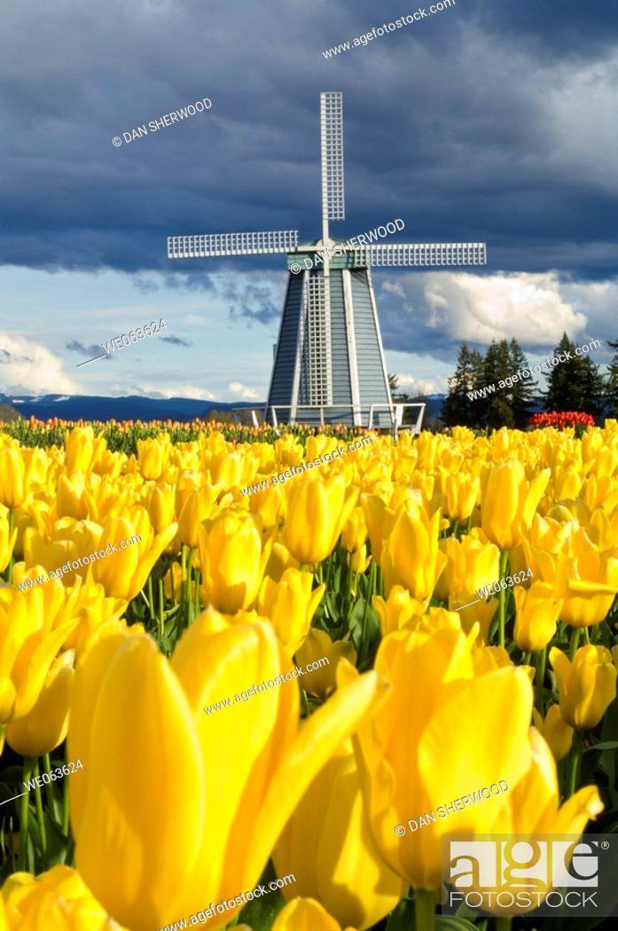 Stock Photo: Wooden Shoe Tulip Farm - near Woodburn, Oregon, USA.