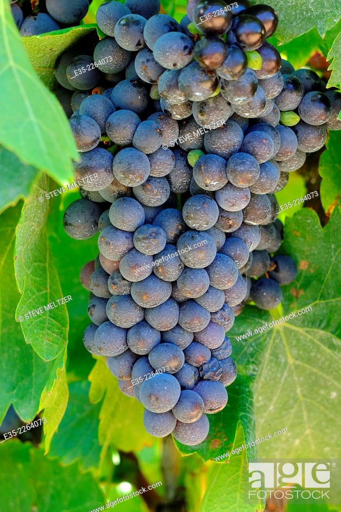 Stock Photo: A large bunch of grapes ready for harvest.
