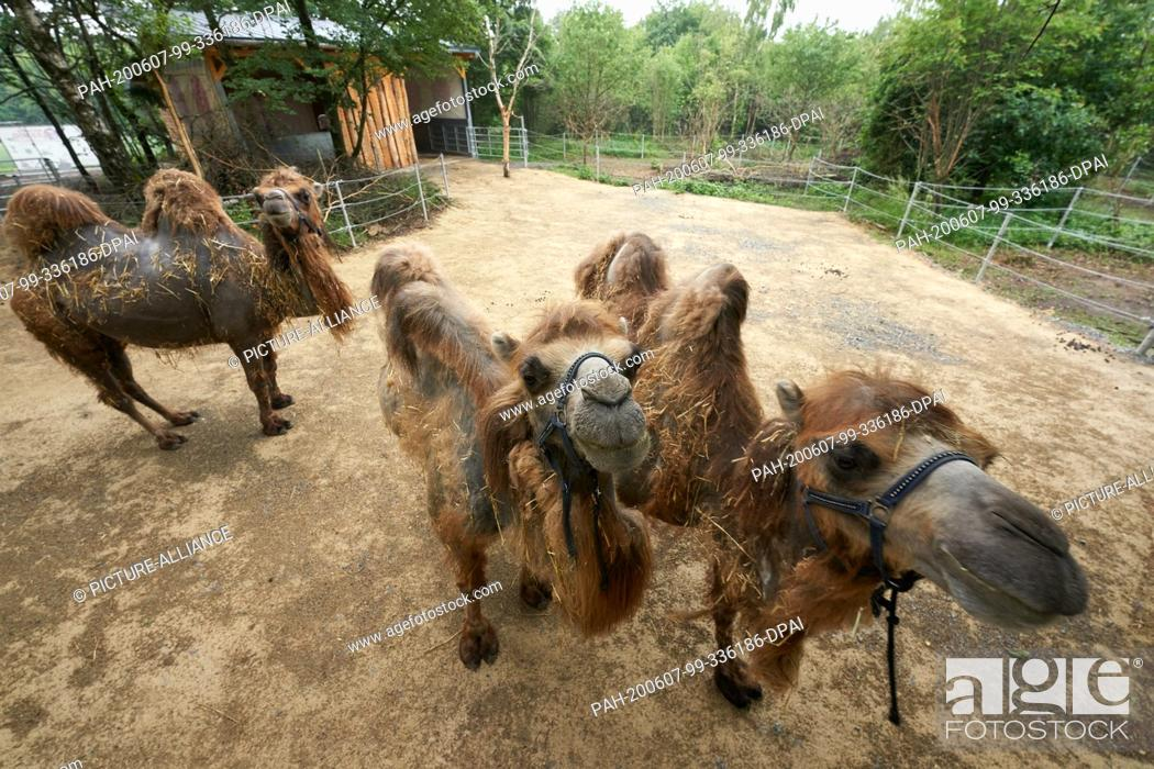Stock Photo: 04 June 2020, Rhineland-Palatinate, Bell: Three camels, which came from a confiscation in Switzerland, are standing in their enclosure at the Bell Animal.