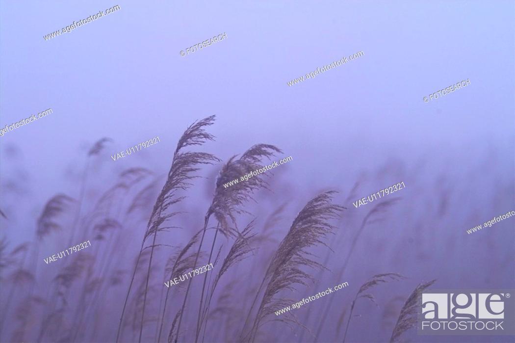 Stock Photo: plants, nature, eulalia, plant, scenery, grass, field.