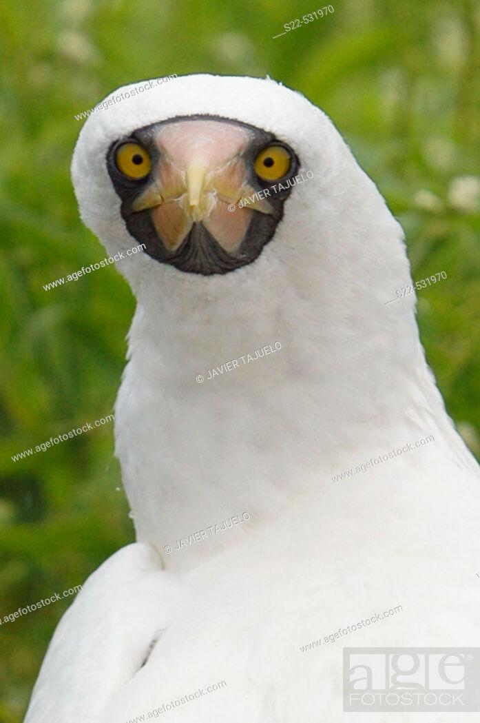 Stock Photo: Masked Booby, (Sula dactylatra).