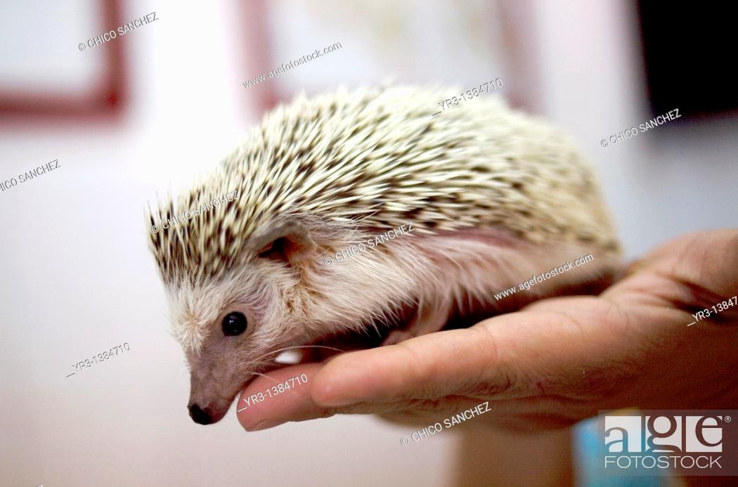 Stock Photo: A veterinarian holds a hedgehog at a Pet Hospital in Condesa, Mexico City, Mexico, February 1, 2011.