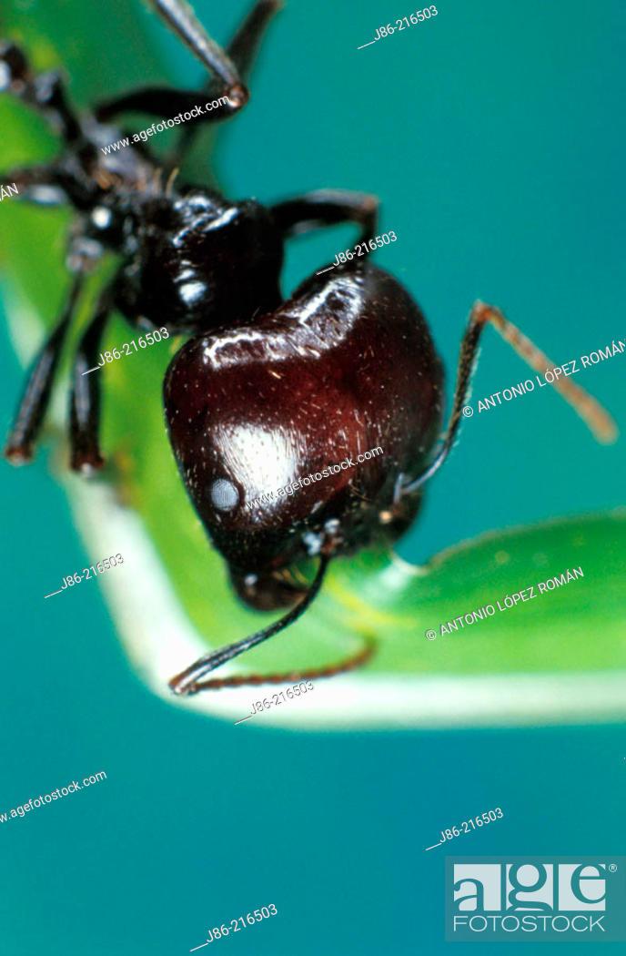 Stock Photo: Ant (Messor barbarus).