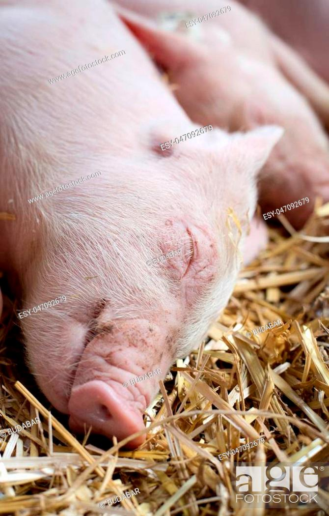 Imagen: Close up of cute piglets sleeping on straw after suckling.