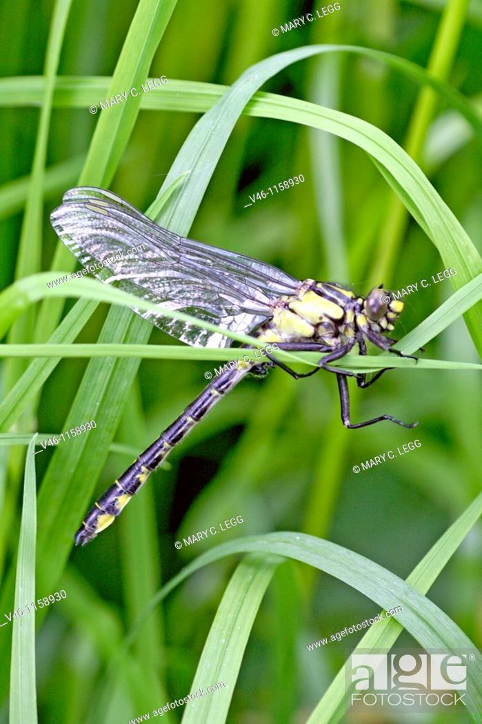 Stock Photo: Newly emerged male Common Clubtail, Gomphus vulgatissimus clings to marsh grass in dense undergrowth  Body has colored with distinctive yellow and black.