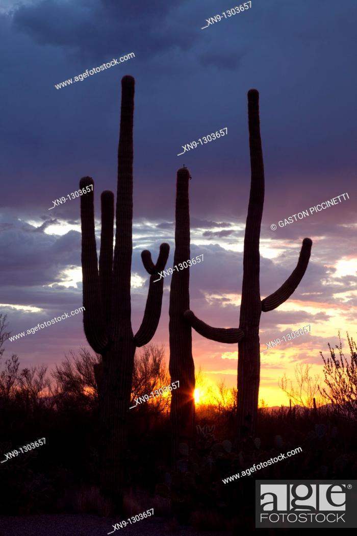 Stock Photo: Giant Saguaros (Carnegiea gigantea), Saguaro National Park Western section, Sonora Desert, Arizona, Tucson, USA.
