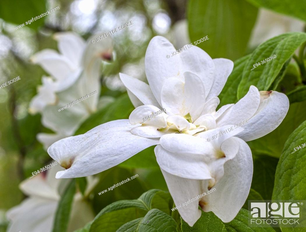 Stock Photo: Double Blossoms on a dogwood Cornus florida, in the spring.