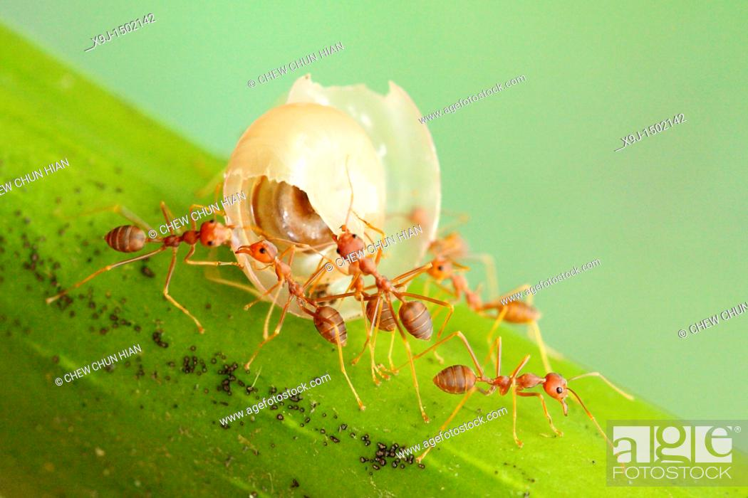Stock Photo: close-up of ant Cataglyphis velox/Formicidae.