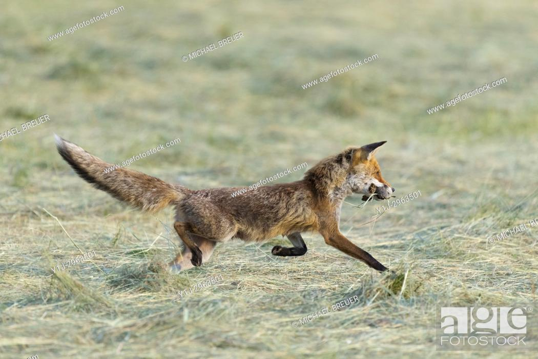 Stock Photo: Red fox (Vulpes vulpes) with mouses on mowed meadow, Hesse, Germany, Europe.