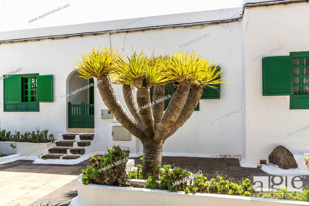 Stock Photo: Drago tree, palm tree, city park, San Bartolomé, Lanzarote, Canary Islands, Spain, Europe.