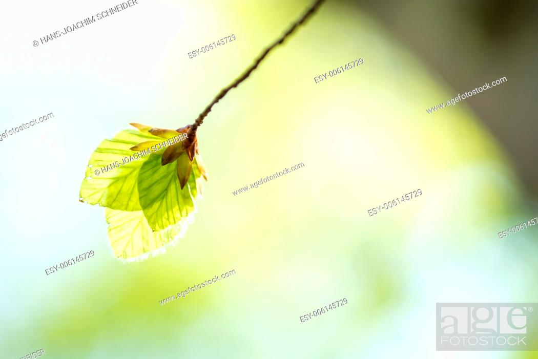 Stock Photo: Soft birch leaves in spring.