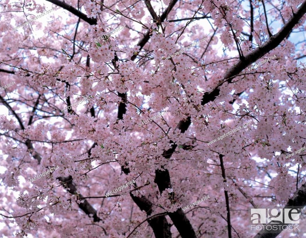 Stock Photo: spring, flower, season, japanese, ume, nature, plant.