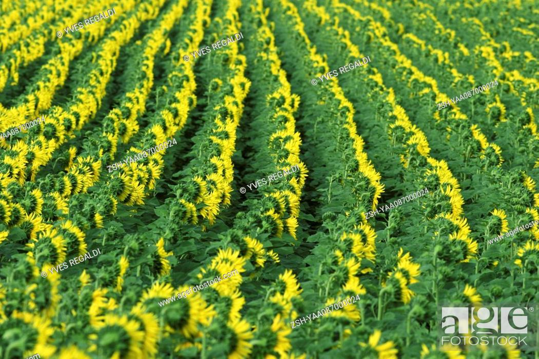 Stock Photo: Sunflowers growing in field, full frame.
