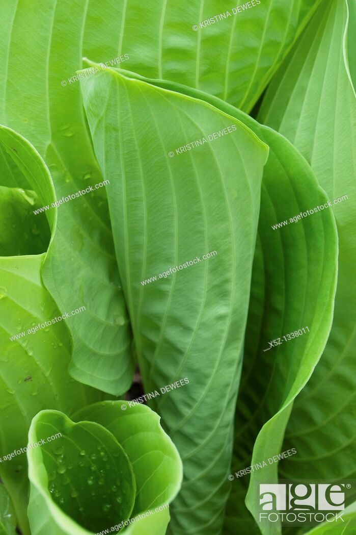 Stock Photo: The unfurling leaves of a hosta, specifically sum and substance.