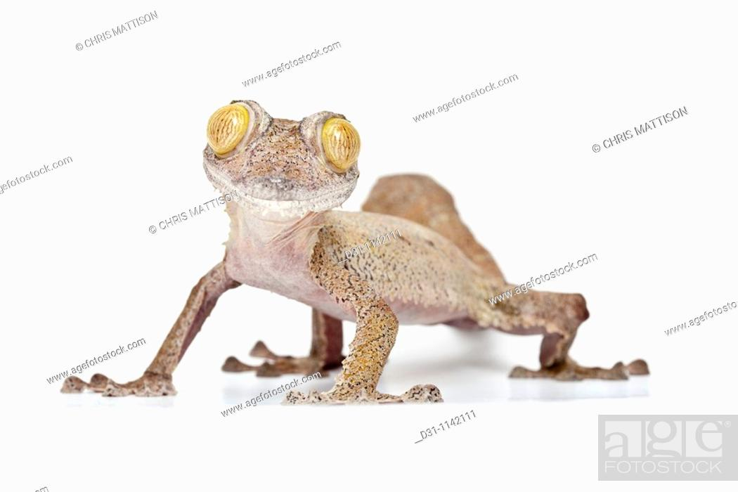 Stock Photo: Leaf-tailed gecko, Uroplatus fimbriatus, Madagascar, on white background.