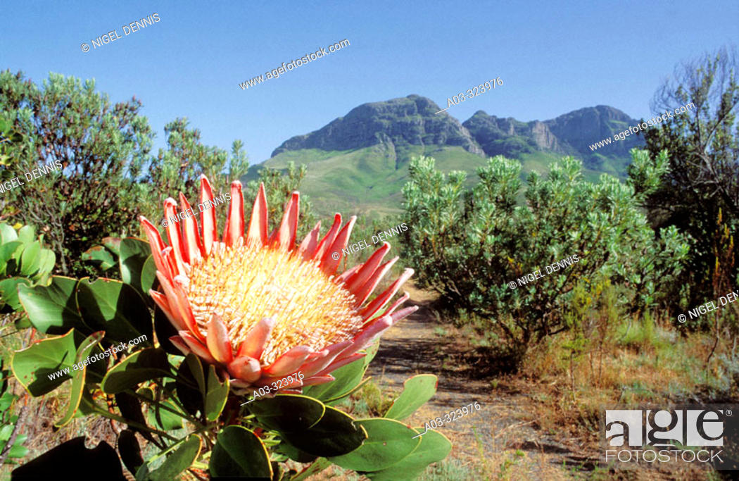 Stock Photo: King Protea (Protea cynaroides) in endangered fynbos habitat, endemic to Western Cape. Helderberg Nature Reserve, Western Cape, South Africa.