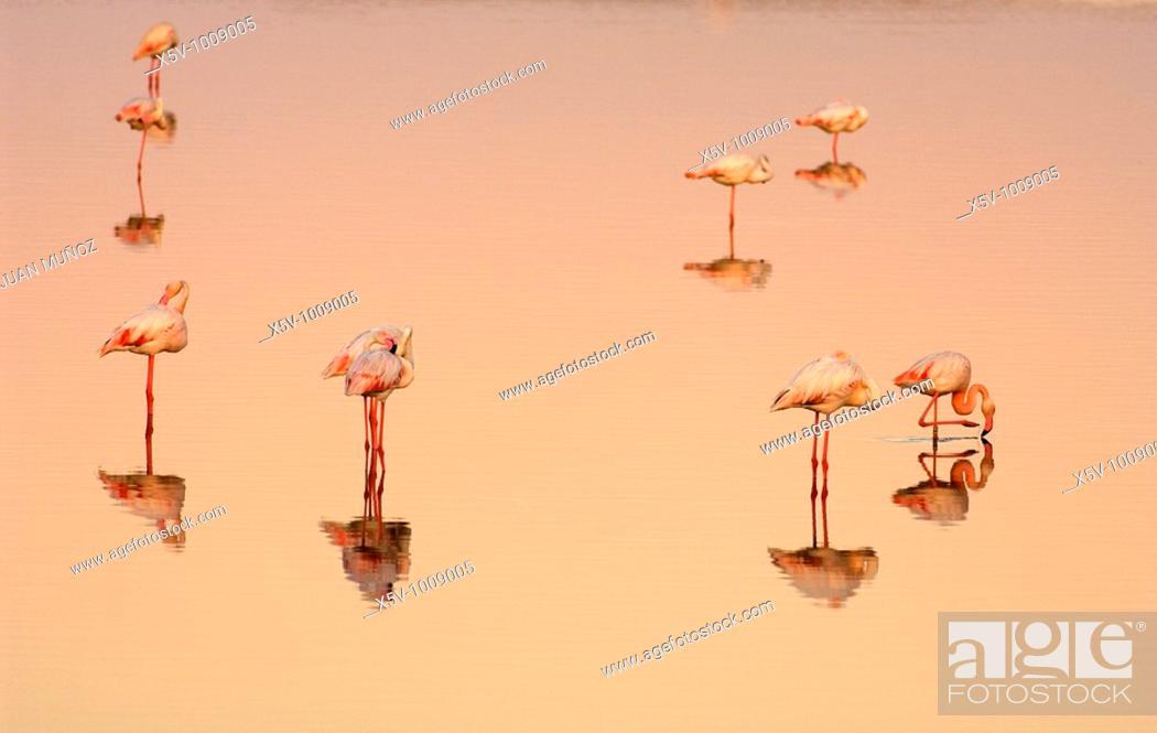 Stock Photo: Flamingos (Phoenicopterus ruber roseus) at dawn. Marismas del Odiel Natural Park. Huelva. Andalucia. Spain.