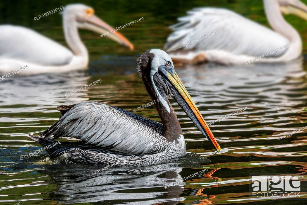 Imagen: Peruvian pelican / Humboldt brown pelican (Pelecanus thagus) native to Chile and Peru.