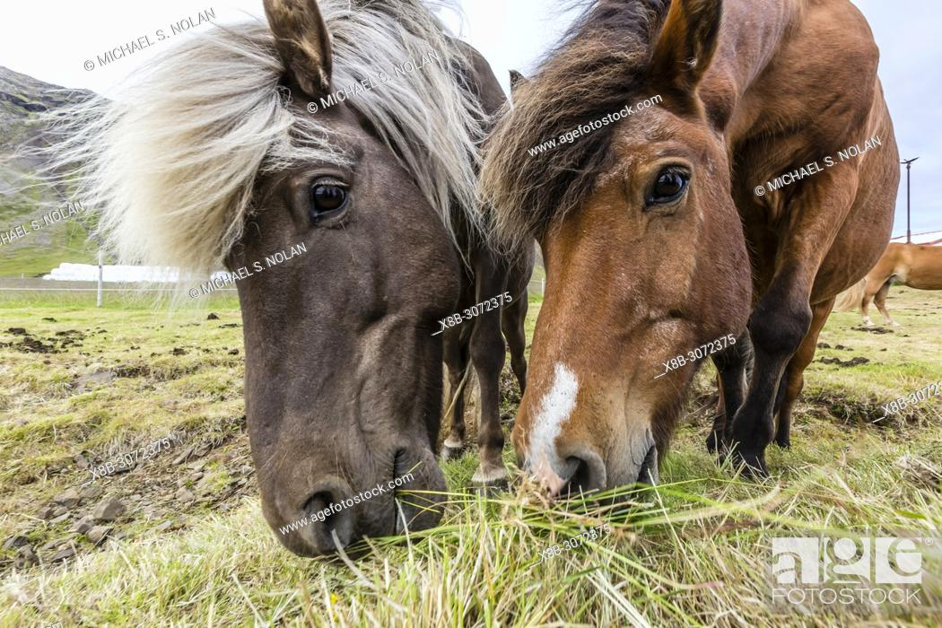 Stock Photo: Adult Icelandic horses, Equus ferus caballus, on a farm on the Snæfellsnes Peninsula, Iceland.