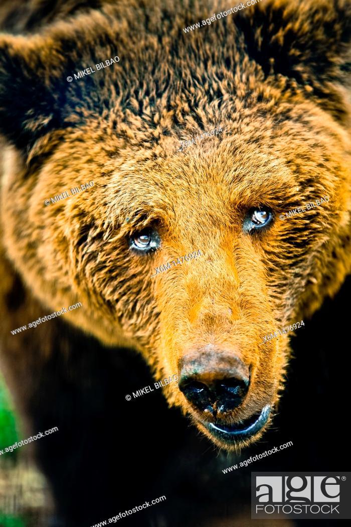 Stock Photo: brown bear Ursus arctos.