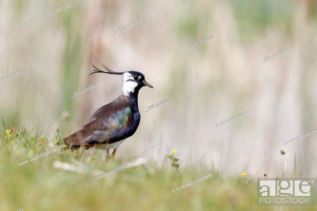 Stock Photo: Lapwing (Vanellus vanellus) Berkshire, England, UK.