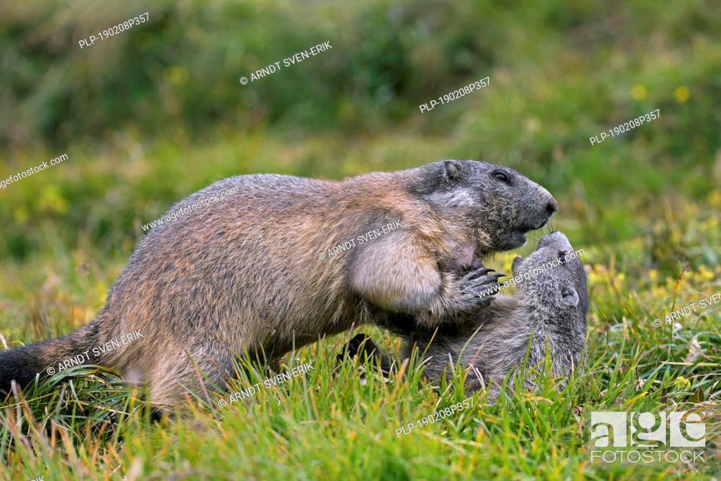 Stock Photo: Alpine marmot (Marmota marmota) adult playing with young, Hohe Tauern National Park, Carinthia, Austria.
