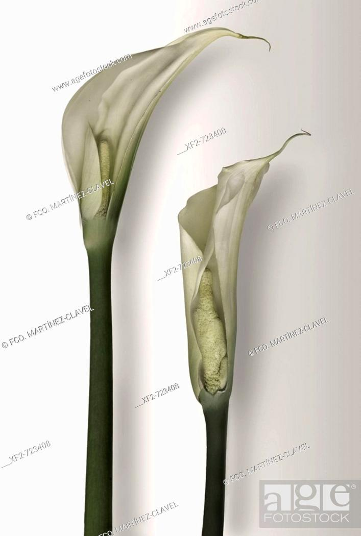Stock Photo: Calla lilies.
