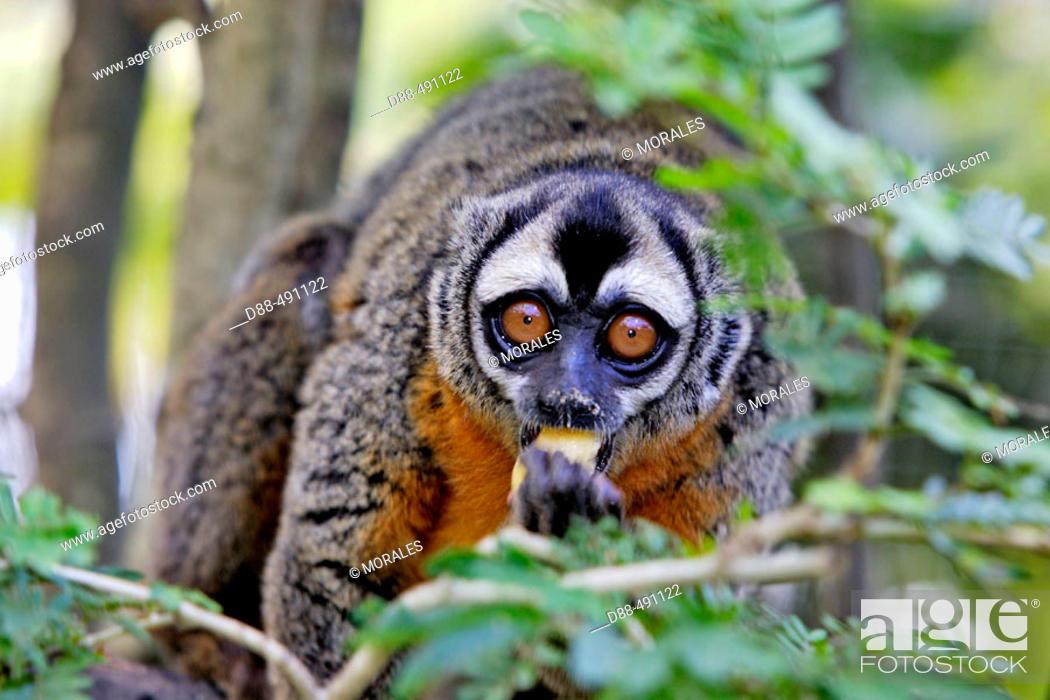Stock Photo: Ma's Night Monkey. (Aotus nancymaae). Venezuela.