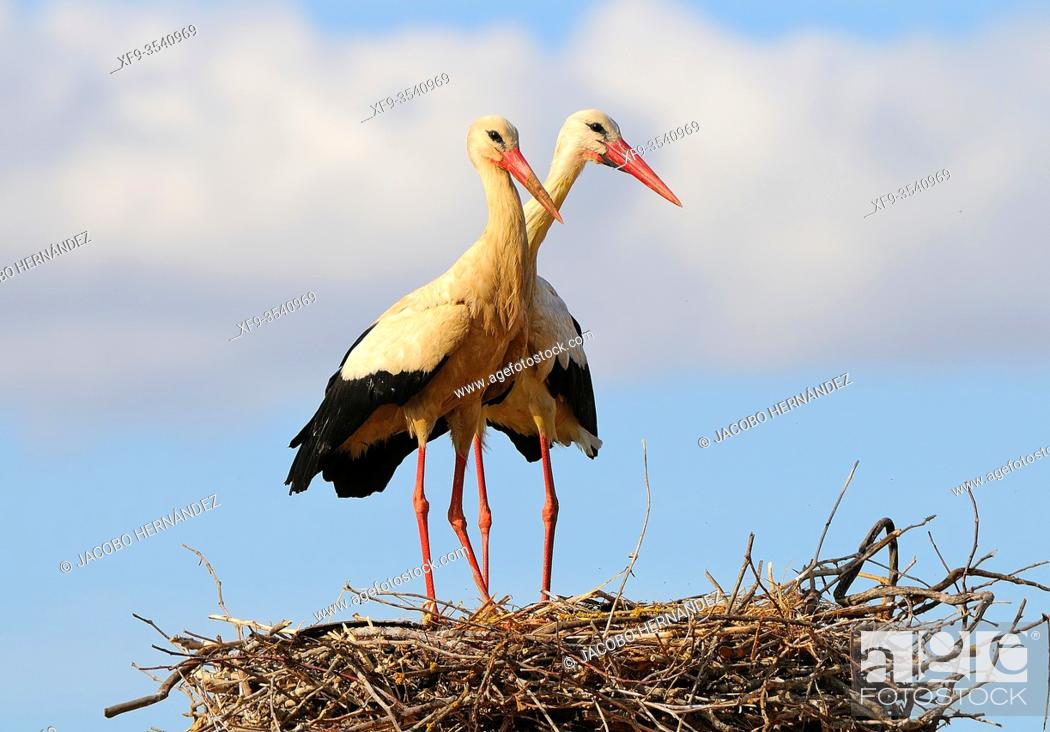 Stock Photo: Pair of White storks in the nest (Ciconia ciconia) Olivenza. Badajoz province. Extremadura. Spain.