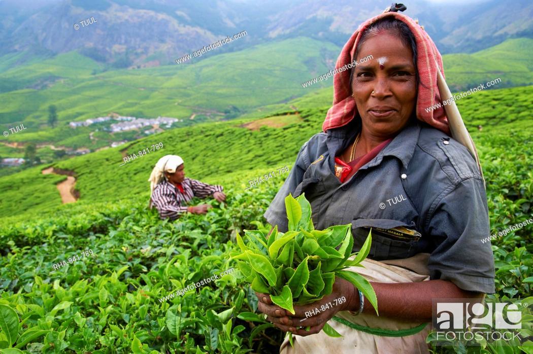 Stock Photo: Tamil worker on a tea plantation, Munnar, Kerala, India, Asia.