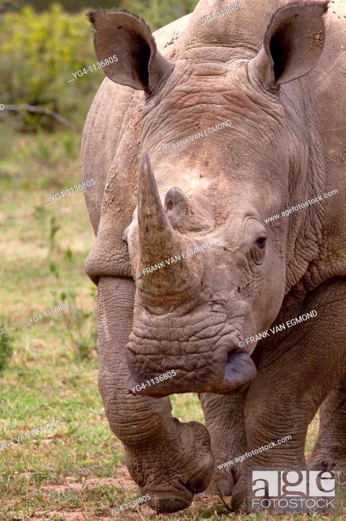 Stock Photo: White Rhinoceros  Ceratotherium Simum  May, Winter 2009  Ndumo Game Reserve, Kwazulu-Natal, South Africa.