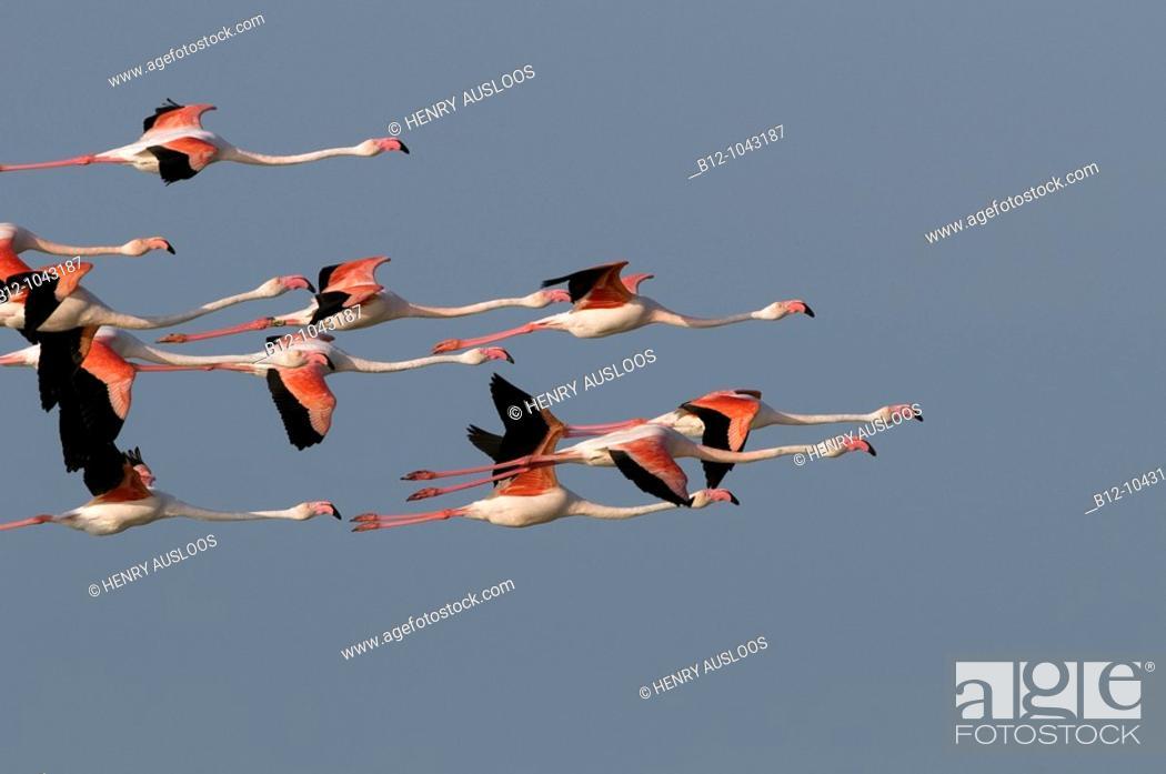 Stock Photo: Greater Flamingo (Phoenicopterus roseus), Camargue, France.