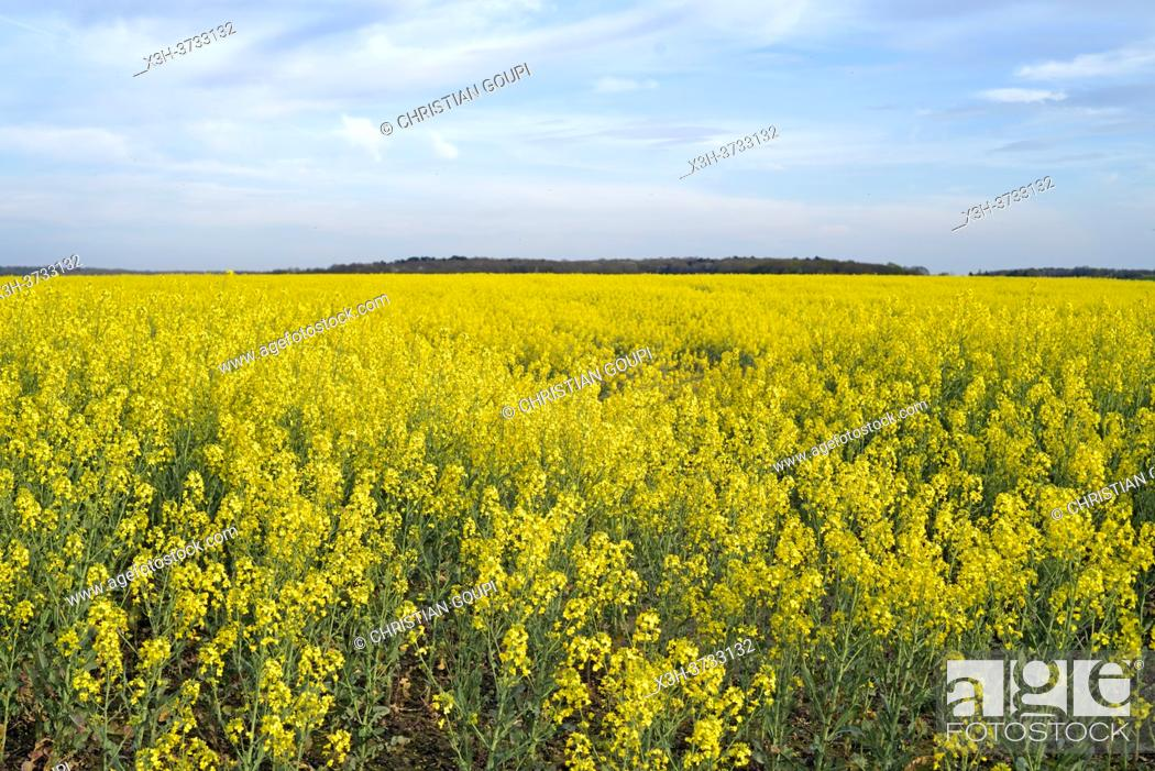 Stock Photo: Rapeseed field, Eure-et-Loir department, Centre-Val-de-Loire region, France, Europe.