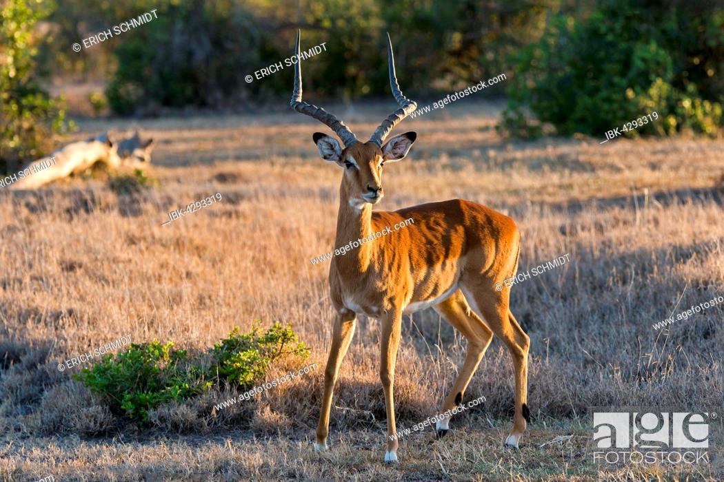 Imagen: Impala (Aepyceros melampus), Ol Pejeta Reserve, Kenya.