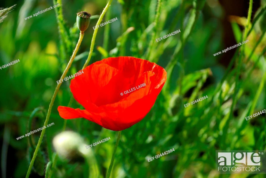 Stock Photo: Common poppies.