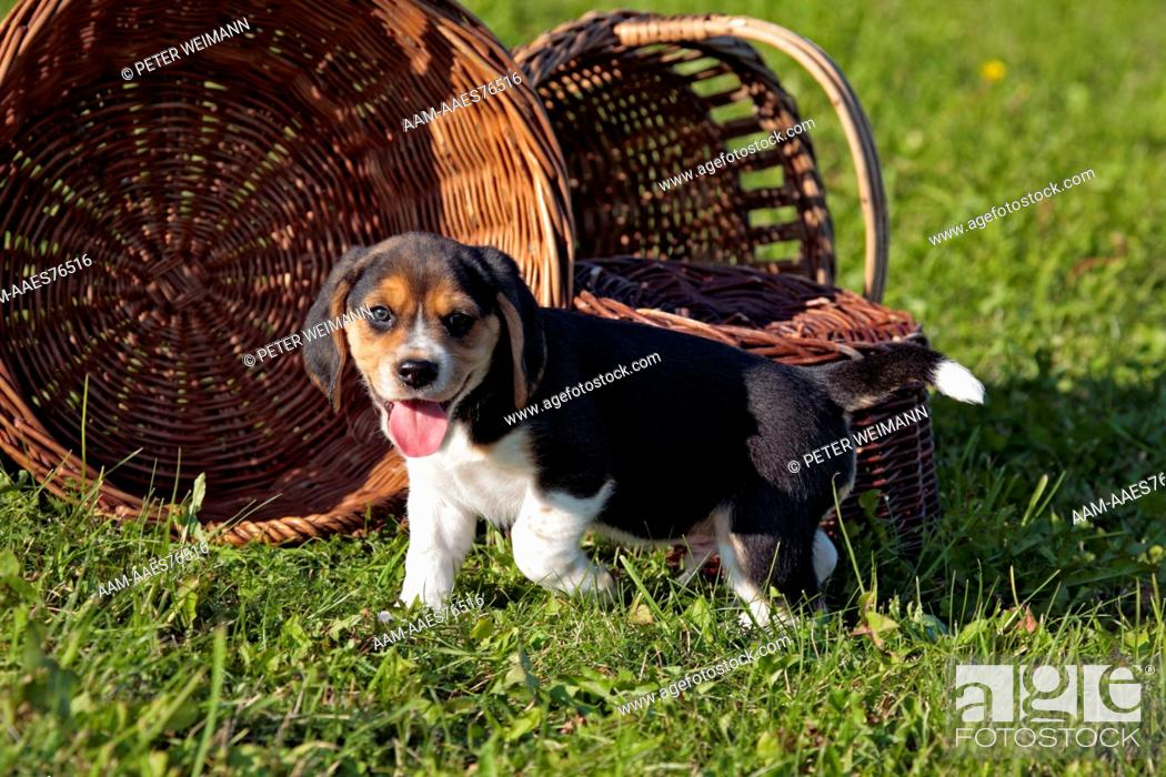 Imagen: Beagle Puppy, (Mother: Bea of lucky-sun; Breeder: Y. Otte), Wolnzach, Bavaria, Germany.