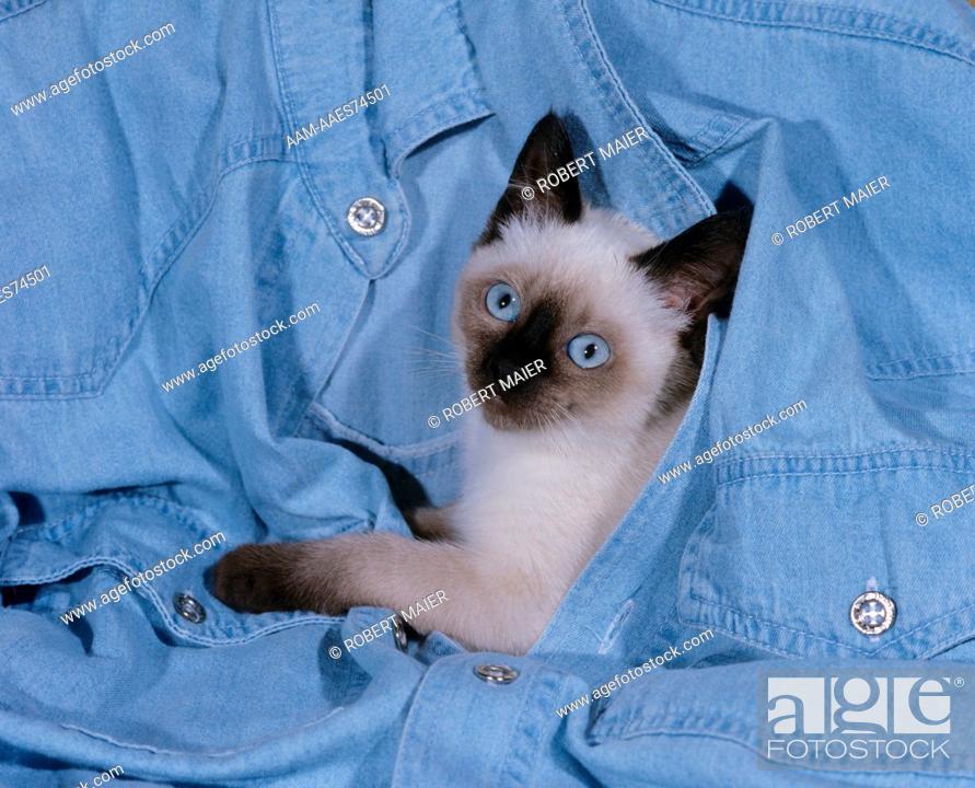 Stock Photo: Siamese kitten.