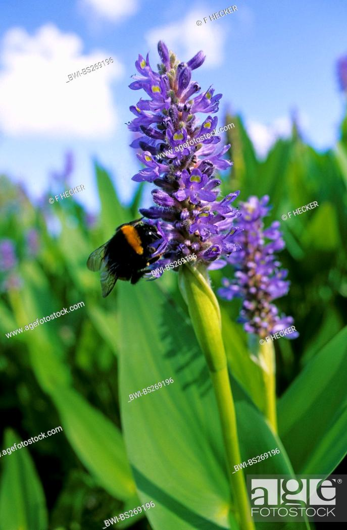 Stock Photo: Pickerel Weed, Pickerelweed Pontederia cordata, inflorescence with bumble bee, Germany.