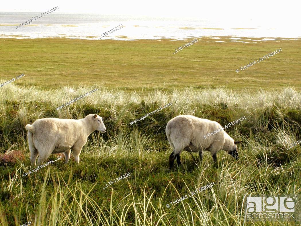 Stock Photo: Sheep graze on the beach, Sylt, Germany.