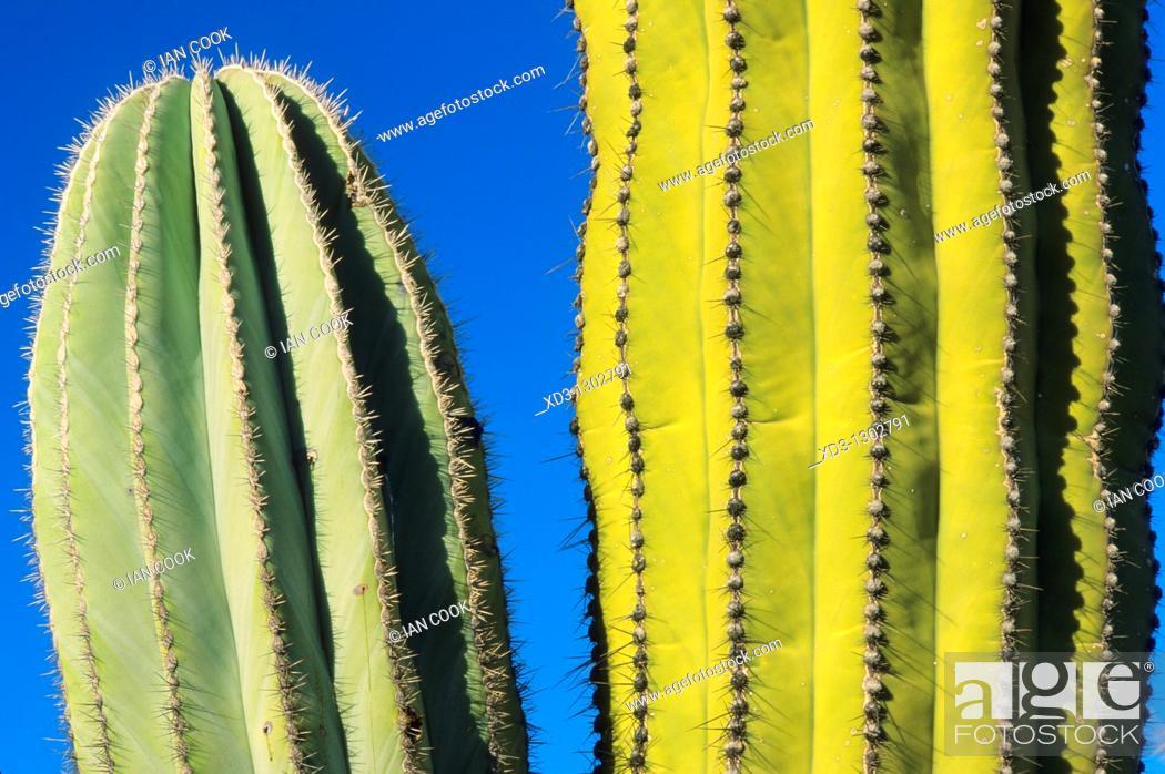 Stock Photo: Cardon Cactus (Pachycereus pringlei), Catavina Boulder Field, Central Desert, Baja California, Mexico.